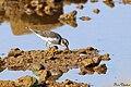 Little Ringed Plover (23300559423).jpg