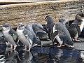 Little penguins 01.jpg