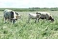 Livestock59.tif (38844355302).jpg