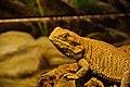 Lizard (4153831173).jpg