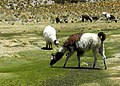 Llamas de Sajama DSCN5283mod.jpg