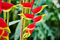 Lobster Claw (Heliconia Rostrata) (49375476551).jpg
