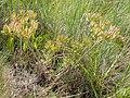 Lomatium macrocarpum (3521345995).jpg