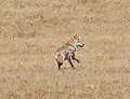Lone Coyote 3 (8051881709).jpg