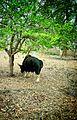 Lonley bison.jpg