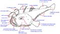 Lophius piscatorius ro.png