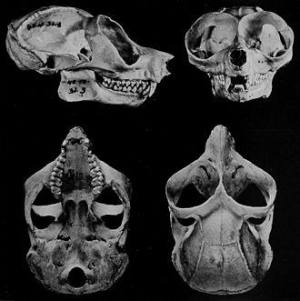 Red slender loris - Skull