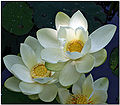 Lotus 8480.jpg
