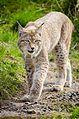 Lynx (16837757579).jpg
