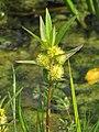 Lysimachia thyrsiflora Tojeść bukietowa 2010-05-29 01.jpg