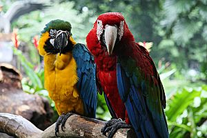 Ara (genus) - Blue-and-yellow macaw (left) and green-winged macaw (right) at Jurong Bird Park, Singapore