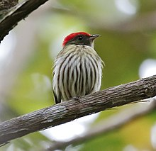 Machaeropterus regulus - Stripped manakin (male).jpg