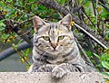 Mackerel tabby cat - panoramio.jpg
