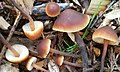 Macrocystidia cucumis (Pers.) Joss 803889.jpg
