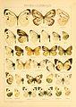 Macrolepidoptera01seitz 0049.jpg