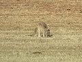 Macropus fuliginosus (25121801417).jpg