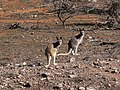 Macropus robustus (44601472391).jpg