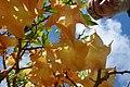 Madeira - Jardim do Mar - Angels' Trumpets (24333940760).jpg