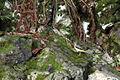 Madeira - Levada das 25 Fontes - grey wagtail (24542135771).jpg