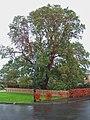 Madrona Tree - geograph.org.uk - 462264.jpg