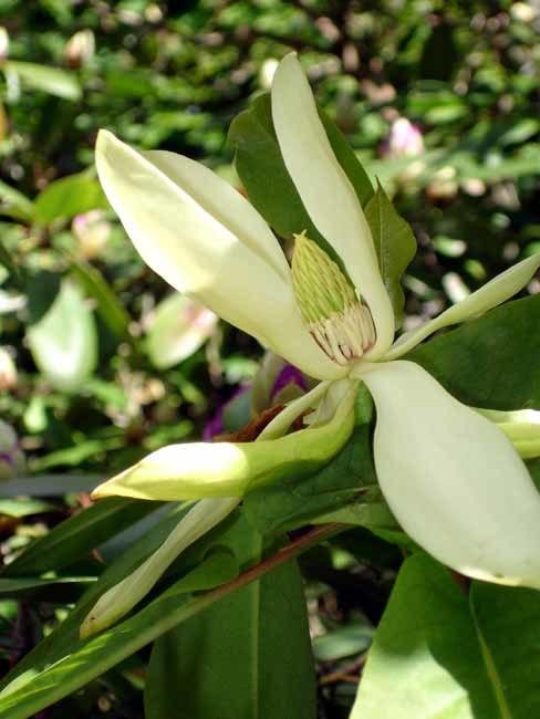Magnolia fraseri1a.UME