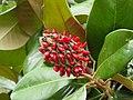 Magnolia grandiflora 2003.jpg