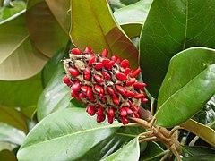240px magnolia grandiflora 2003