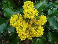Mahonia aquifolium flowers and leaves.jpg