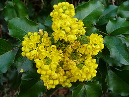 Mahonia aquifolium flowers and leaves.jpg