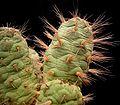 Maihueniopsis subterranea1 ies.jpg