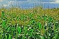 Maize - Flickr - Stiller Beobachter.jpg