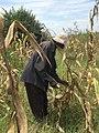 Maize Harvest.jpg
