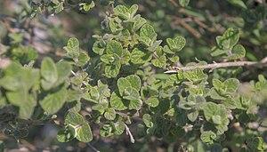 Ezov - Origanum syriacum
