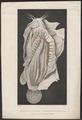 Malapterurus electricus - 1700-1880 - Print - Iconographia Zoologica - Special Collections University of Amsterdam - UBA01 IZ14600157.tif