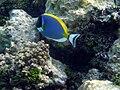 Maldives surgeonfish Acanthurus leucosternon 199.jpg