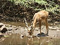 Male buck drinking AJTJ P1100275.jpg
