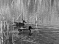 Mallard ducks on the pond at the Homewood Cemetery, 2015-03-17.jpg