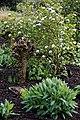 Mallard in garden bed at RHS Garden Hyde Hall, Essex, England.jpg