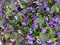 Malpighiales - Viola reichenbachiana - 1.jpg