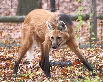Maned wolf - A captive maned wolf at Beardsley Zoo