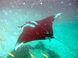 Giant oceanic manta ray - M. birostris with rolled up cephalic fins and characteristic dorsal coloration (Ko Hin Daeng, Thailand)