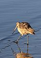 Marbled godwit, Limosa fedoa, Moss Landing (Elkhorn Slough and beach), California, USA. (30941551455).jpg