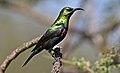 Marico sunbird, Cinnyris mariquensis, at Zaagkuildrift Road near Kgomo Kgomo, Limpopo, South Africa. Male (33586379906).jpg