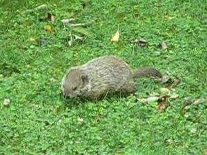 File:Marmota monax.ogv