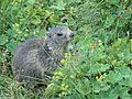 Marmotte en Vanoise 2008 (3).JPG