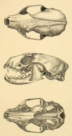 Beech marten - Skull, as illustrated in Merriam's Synopsis of the weasels of North America