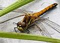 Mature female Black Darter. Sympetrum danae (24651321227).jpg
