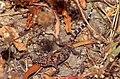 Mediterranean House Gecko (Hemidactylus turcicus) (35746644374).jpg