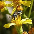 Megachilidae (33009009326).jpg