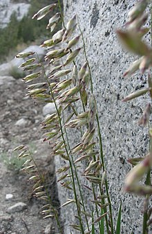 Melicastricta.jpg